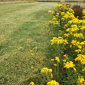 Ragwort in Field